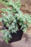Λεπιοειδής ιουνίπερος Hunnetorp squamata ιοuνίπερος ή ιουνίπερος Himalayan στο δοχείο στοκ φωτογραφία με δικαίωμα ελεύθερης χρήσης