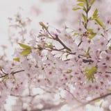 Λεπτά άνθη κερασιών ανοίξεων Στοκ Εικόνα