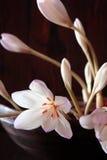 Λεπτά άσπρα λουλούδια κρόκων φθινοπώρου Στοκ Φωτογραφία