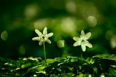 Λεπτά άσπρα λουλούδια anemone Στοκ εικόνες με δικαίωμα ελεύθερης χρήσης