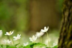 Λεπτά άσπρα λουλούδια anemone Στοκ Φωτογραφία