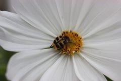 Λεπτά άσπρα πέταλα & ελεγχμένος διαμορφωμένος κάνθαρος στοκ εικόνα με δικαίωμα ελεύθερης χρήσης