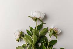 Λεπτά άσπρα peonies σε ένα άσπρο υπόβαθρο στοκ φωτογραφία με δικαίωμα ελεύθερης χρήσης