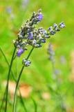 Λεπτά διακοσμητικά μπλε λουλούδια Στοκ φωτογραφία με δικαίωμα ελεύθερης χρήσης