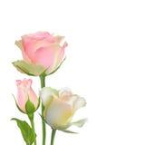 Λεπτά διανυσματικά τριαντάφυλλα Στοκ φωτογραφίες με δικαίωμα ελεύθερης χρήσης
