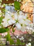 Λεπτά λουλούδια κερασιών στοκ εικόνα