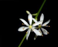 λεπτά λουλούδια chlorophytum Στοκ Φωτογραφία