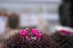 Λεπτά ρόδινα λουλούδια κάκτων Μπροστινή όψη στοκ φωτογραφία