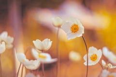 Λεπτά anemones με τον όμορφο τονισμό Λουλούδια σε ένα όμορφο υπόβαθρο Εκλεκτική εστίαση Στοκ Φωτογραφίες