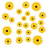 Λεπτά Marigolds λουλουδιών κίτρινα Στοκ Φωτογραφίες
