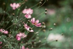 Λεπτές ρόδινες μαργαρίτες σε ένα όμορφο πράσινο υπόβαθρο Κινηματογράφηση σε πρώτο πλάνο με το bokeh Λουλούδια στο πράσινο υπόβαθρ στοκ φωτογραφία με δικαίωμα ελεύθερης χρήσης
