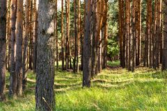 Λεπτές σειρές των πεύκων πράσινος juicy χλόης Στοκ φωτογραφία με δικαίωμα ελεύθερης χρήσης