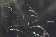 Λεπτές χλόες λιβαδιών που λαμπυρίζουν στο πρώτο φως στοκ εικόνα με δικαίωμα ελεύθερης χρήσης