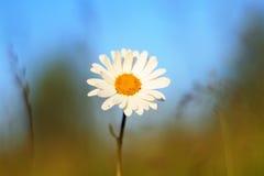 Λεπτή άσπρη ανάπτυξη της Daisy λουλουδιών στο θερινό λιβάδι Στοκ φωτογραφία με δικαίωμα ελεύθερης χρήσης