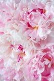 Λεπτή ανθοδέσμη των ανοιγμένων ευωδών ρόδινων και άσπρων peony λουλουδιών Στοκ εικόνες με δικαίωμα ελεύθερης χρήσης