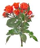 Λεπτή δέσμη των πορτοκαλιών μικρών τριαντάφυλλων χρώματος που απομονώνονται στο λευκό Στοκ εικόνα με δικαίωμα ελεύθερης χρήσης