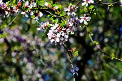 Λεπτή ομορφιά - πέταλα ενός ανθίζοντας δέντρου Λήφθείτε στη Μόσχα στοκ φωτογραφία με δικαίωμα ελεύθερης χρήσης