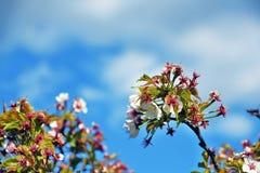 Λεπτή ομορφιά - πέταλα ενός ανθίζοντας δέντρου Λήφθείτε στη Μόσχα στοκ εικόνα με δικαίωμα ελεύθερης χρήσης