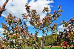 Λεπτή ομορφιά - πέταλα ενός ανθίζοντας δέντρου Λήφθείτε στη Μόσχα στοκ εικόνες