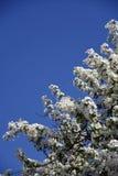 Λεπτή ομορφιά - πέταλα ενός ανθίζοντας δέντρου Λήφθείτε στη Μόσχα στοκ εικόνα