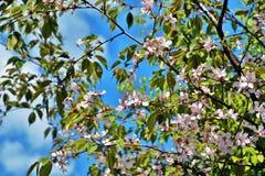 Λεπτή ομορφιά - πέταλα ενός ανθίζοντας δέντρου Λήφθείτε στη Μόσχα στοκ εικόνες με δικαίωμα ελεύθερης χρήσης