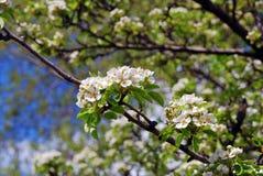 Λεπτή ομορφιά - πέταλα ενός ανθίζοντας δέντρου Λήφθείτε στη Μόσχα Στοκ Φωτογραφίες