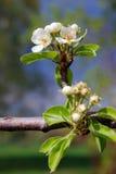 Λεπτή ομορφιά - πέταλα ενός ανθίζοντας δέντρου Λήφθείτε στη Μόσχα Στοκ φωτογραφίες με δικαίωμα ελεύθερης χρήσης
