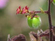 Λεπτή ομορφιά σε ένα απλό λουλούδι, μικροσκοπική ομορφιά Στοκ Φωτογραφίες