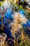 Λεπτοί πουπουλένιοι λοβοί σπόρου με το υπόβαθρο λιμνών Refection Στοκ Φωτογραφία
