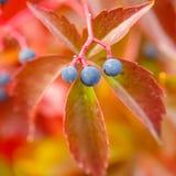 Λεπτομέρεια αναρριχητικών φυτών της Βιρτζίνια στοκ φωτογραφία με δικαίωμα ελεύθερης χρήσης