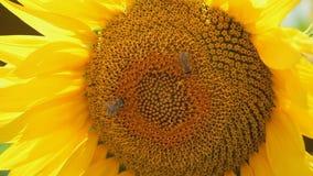 Λεπτομέρεια δύο μελισσών που για να βρεί την καλύτερη γύρη στο κεφάλι του ηλίανθου απόθεμα βίντεο
