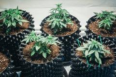 Λεπτομέρεια εγκαταστάσεων μαριχουάνα καννάβεων ιατρικός στοκ εικόνες