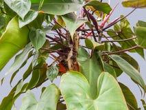 Λεπτομέρεια εγκαταστάσεων Philodendron Στοκ Φωτογραφία
