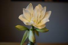 Λεπτομέρεια ενός άσπρου λουλουδιού Amaryllis Στοκ φωτογραφία με δικαίωμα ελεύθερης χρήσης