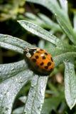Λεπτομέρεια ενός ladybug σε ένα πράσινο φύλλο Στοκ εικόνα με δικαίωμα ελεύθερης χρήσης