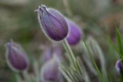 Λεπτομέρεια ιώδους Pasqueflower Στοκ Εικόνες