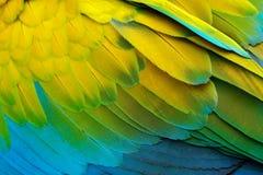 Λεπτομέρεια κινηματογραφήσεων σε πρώτο πλάνο του φτερώματος παπαγάλων Πράσινος παπαγάλος μεγάλος-πράσινο Macaw, ambigua Ara, λεπτ Στοκ φωτογραφία με δικαίωμα ελεύθερης χρήσης