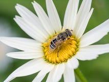 Λεπτομέρεια κινηματογραφήσεων σε πρώτο πλάνο των apis μελιού μελισσών που συλλέγουν τη γύρη στο λευκό δ Στοκ Εικόνες