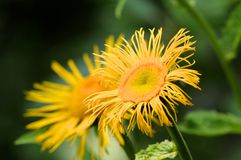 Λεπτομέρεια (μακροεντολή) ενός κίτρινου λουλουδιού Στοκ εικόνες με δικαίωμα ελεύθερης χρήσης