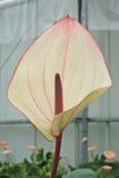 Λεπτομέρεια μιας όμορφης νέας ποικιλίας της anthurium οικογένειας Στοκ Φωτογραφία