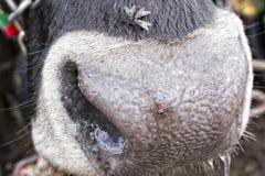 Λεπτομέρεια μύτης αγελάδων Στοκ φωτογραφία με δικαίωμα ελεύθερης χρήσης