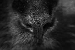 Λεπτομέρεια μύτης γατών Στοκ Φωτογραφίες