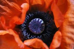 Λεπτομέρεια λουλουδιών παπαρουνών Στοκ Φωτογραφία