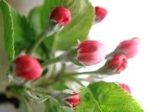 Λεπτομέρεια λουλουδιών της Apple Στοκ Εικόνες