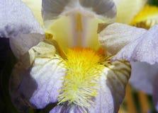 Λεπτομέρεια λουλουδιών της Iris Στοκ φωτογραφία με δικαίωμα ελεύθερης χρήσης