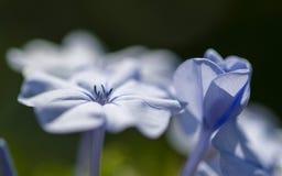 Λεπτομέρεια λουλουδιών Plumbago των πετάλων Στοκ Φωτογραφία