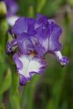Λεπτομέρεια πετάλων του μπλε και άσπρου λουλουδιού ίριδων στο ηλιοβασίλεμα Στοκ φωτογραφίες με δικαίωμα ελεύθερης χρήσης