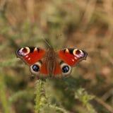 Λεπτομέρεια πεταλούδων Peacock Στοκ Εικόνες