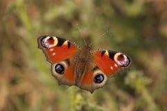 Λεπτομέρεια πεταλούδων Peacock Στοκ φωτογραφία με δικαίωμα ελεύθερης χρήσης