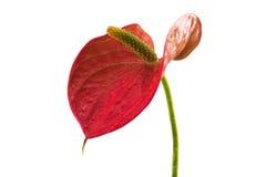 Λεπτομέρεια στον κόκκινο κρίνο φλαμίγκο ανθών (Anthurium andreanum) σε Whi Στοκ Εικόνες